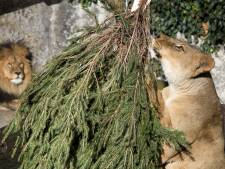 Artis doet leeuwen weg vanwege coronacrisis