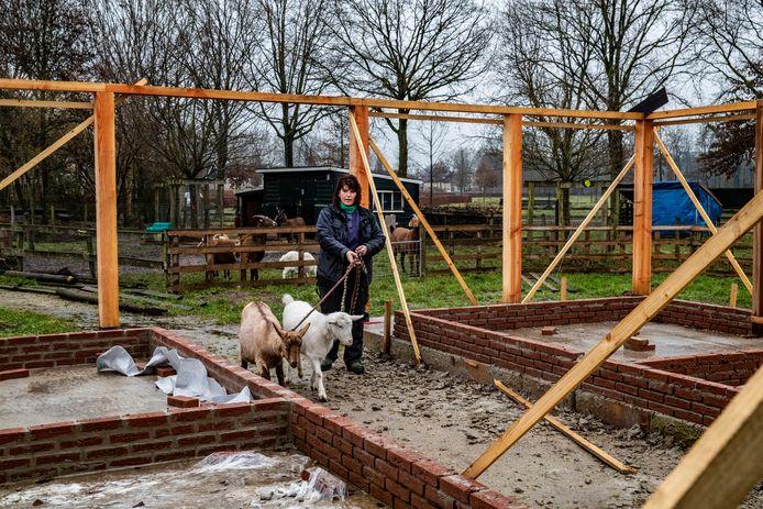 Ulebelt-medewerkster Carol Hageman leidt Dieka (links) en Donna rond in hun nieuwe onderkomen. Op de achtergrond de andere geiten in hun huidige weitje.