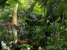 Un deuxième pénis de titan en fleur au Jardin Botanique de Meise