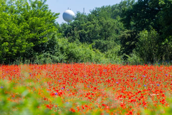 Een veld vol klaprozen en korenbloemen in Genneper Parken in Eindhoven.