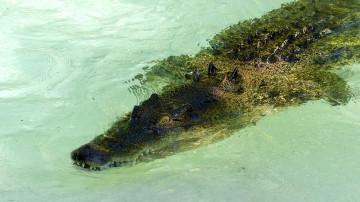 Il échappe de peu à un crocodile marin.