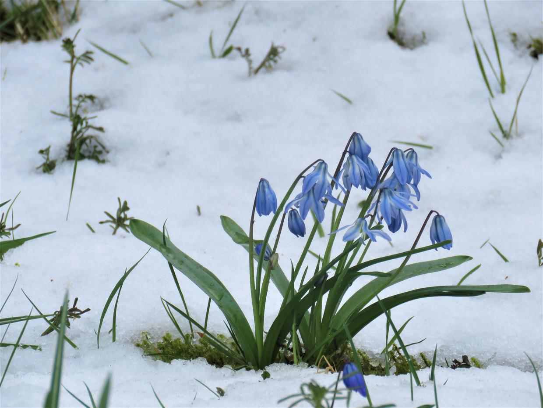 Scilla in de sneeuw Beeld Koos Dijksterhuis