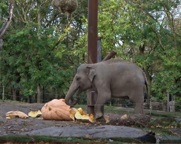 De olifant weet wel raad met de pompoen.