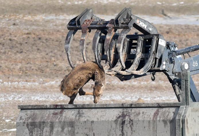 Het opruimen van afgeschoten dieren in de Oostvaardersplassen. Actievoerders spreken van 'een vreselijk crepeer-project.'