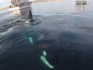 Uniek: paddleboarder filmt ontmoeting met speelse groep orka's