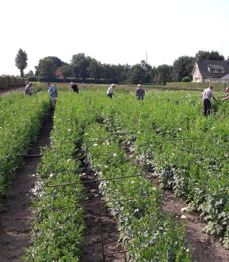 Stortbuien hebben geen enkele invloed op dahlia's voor Zundertse corso