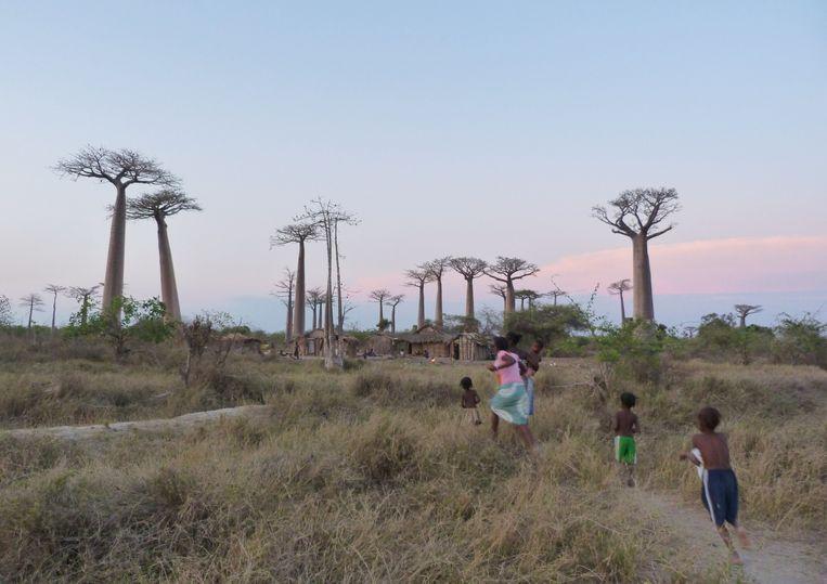 Kinderen op de 'Laan van de baobabs', een beroemd natuurpark in Madagascar, waar de boom wordt beschermd.   Beeld AFP