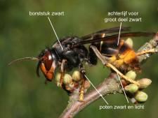 In deze 16 plaatsen is de Aziatische hoornaar opgedoken