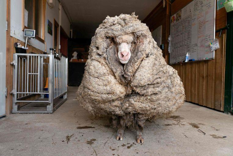 Wie pas echt naar de kapper moest:Baarack. Het arme beest liep al vijf jaar door de Australische wildernis en aangezien moderne doorgefokte schapen hun wol niet vanzelf verliezen, droeg hij een woeste haardos van 35 kilo met zich mee. Een dierenasiel heeft zich over Baarack ontfermd, hem geschoren en bevrijd van pijnlijke doorns in zijn vacht. Beeld AFP