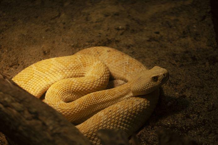 Eén van de gevaarlijke ratelslangen.