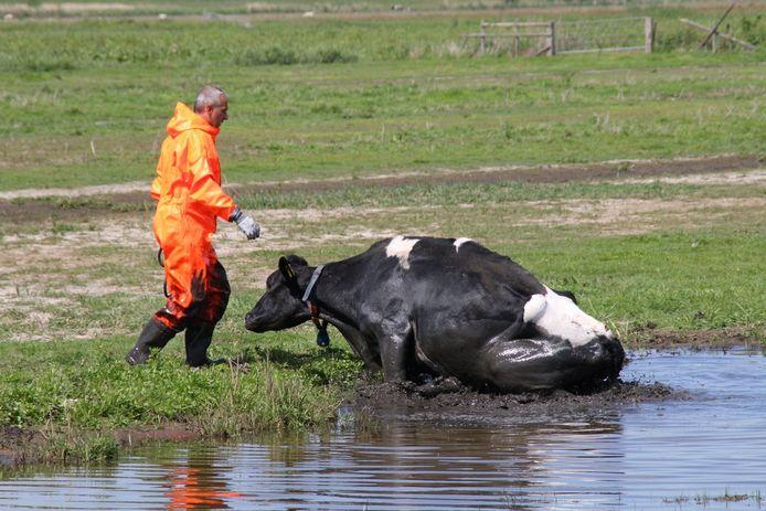 NIJKERK - Donderdagmiddag 21 mei rond 14.15 uur is een koe in een sloot aan de Nekkeveld in Nijkerk belandt. De koe kon op eigen kracht niet uit de sloot komen. Opgeroepen brandweer is met speciale pakken het water in gegaan en heeft de koe de kant op geholpen. De reddingsactie trok veel toeschouwers.