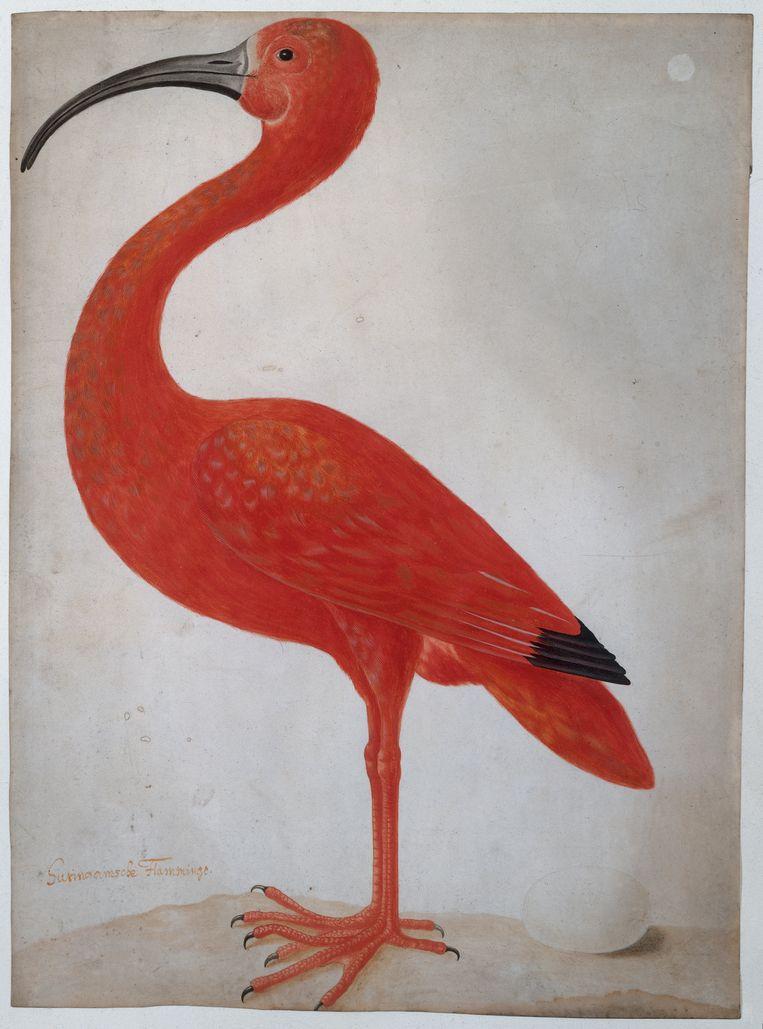 Rode ibis met een ei, toegeschreven aan Dorothea Maria Gsell, 1699-1701. Beeld Rijksmuseum