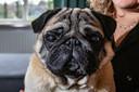 Morris, Hedy's hond die haar motiveerde om hondenmasseuse te worden.