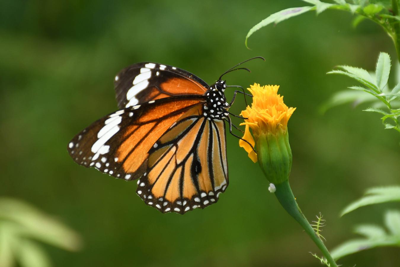 De monarchvlinder.