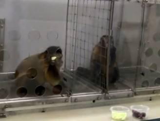 Apen reageren opvallend menselijk op oneerlijke behandeling