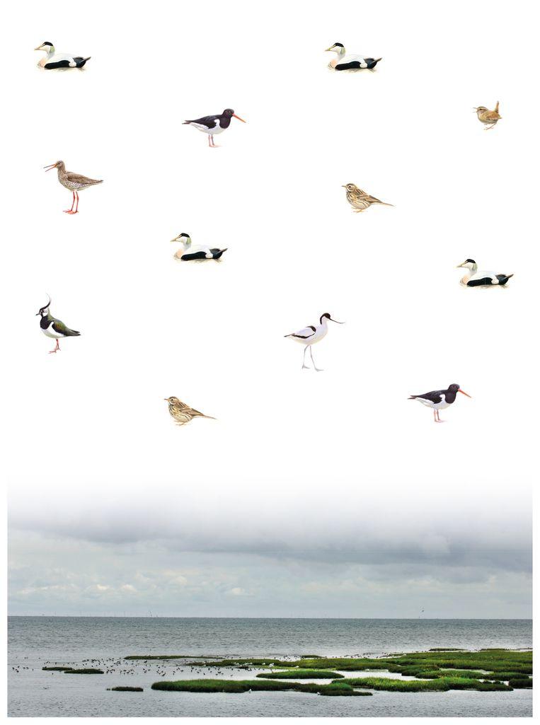 De vogels van de Waddenzee. Beeld Illustratie: Elwin van der Kolk, foto: Wim van der Ende, infographic: Sam Gobin
