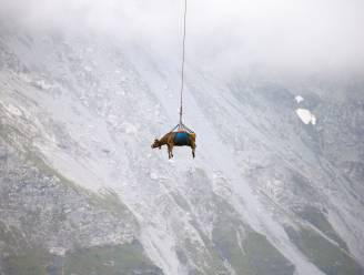 Zwitserse koeien met helikopter van hoge alpenweide gehaald