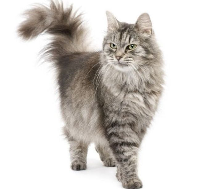 Een Siberische kat.