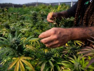 Cannabisbende tekent beroep aan tegen veroordeling