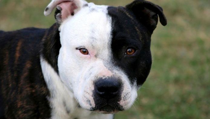 Een hond van het ras American Staffordshire viel het oudere koppel aan.