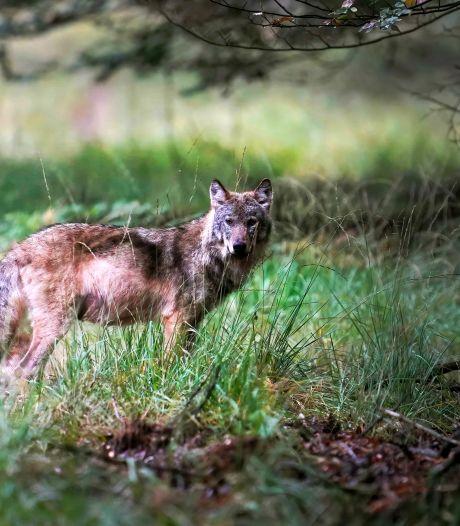Mogelijk nieuwe wolvenwelpen én drie dode schapen op de Noord-Veluwe: is er een verband?