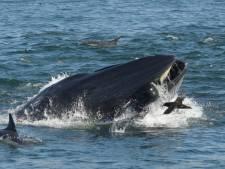 Opgeslokt door een walvis: 'Opeens werd het zwart'