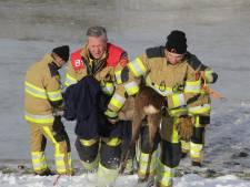 Brandweerlieden redden ree die in uiterwaarden Millingen door het ijs was gezakt