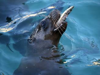 Zeeleeuwen sterven aan mysterieuze kanker in Californië en wetenschappers weten nu hoe dat komt