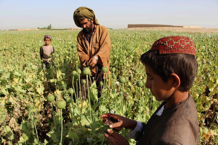Afghaanse boeren aan het werk in een papaverveld in Gereshk, bij Helmand. Papaver is de grondstof van opium en heroïne Beeld AFP