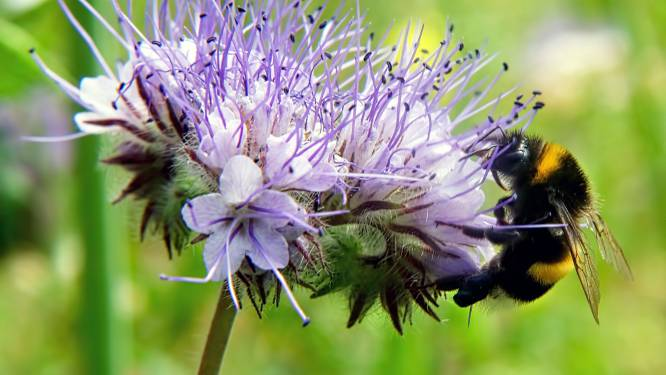 Rommeliger maaien in Oosterhout: 'Tijd en ruimte voor behoud insecten'