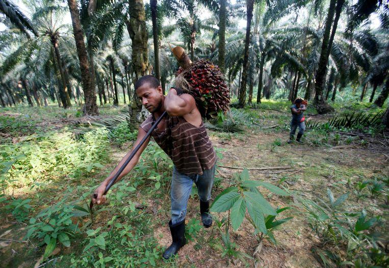 Een medewerker van een Maleisische plantage sjouwt de vruchten van een oliepalm.  Beeld REUTERS