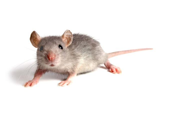 De muizen kwamen de slager duur te staan