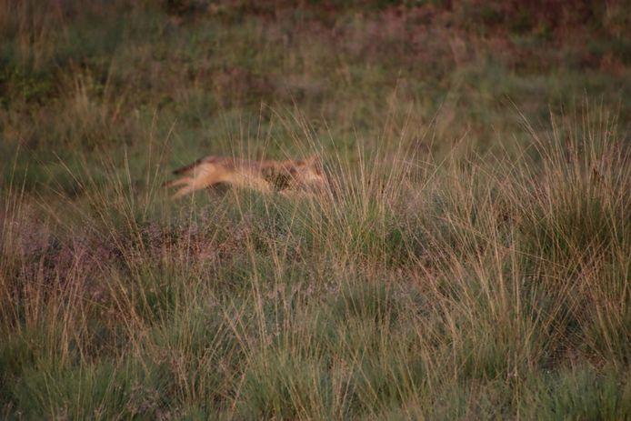 De wolf in actie voor de lens.