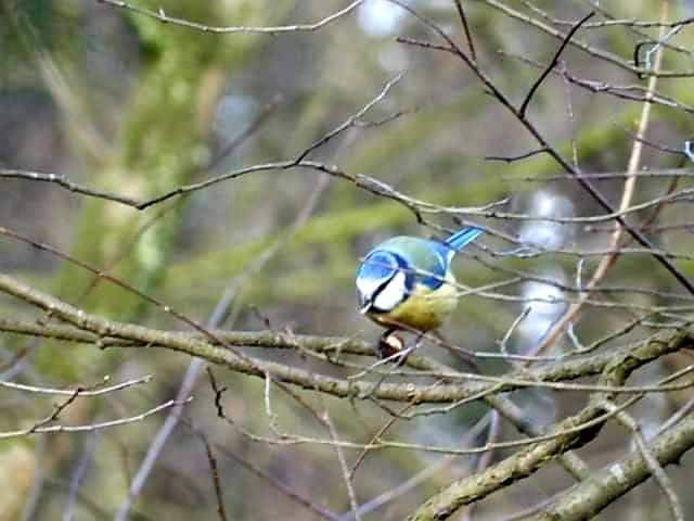 Pimpelmees, een veel geziene tuinvogel.