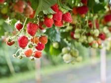 Tegelteelt, een creatieve oplossing bij het planten van aardbeien