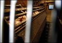 Varkens  worden vergast in een cabine, zodra ze buiten bewustzijn zijn wordt de halsader doorgeprikt en bloeden ze pijnloos dood.