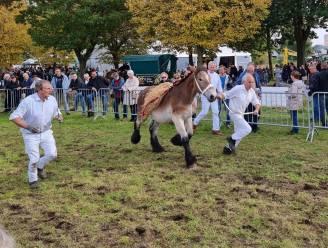 Brabantse trekpaarden even terug naar hun roots op de Dag van het Trekpaard
