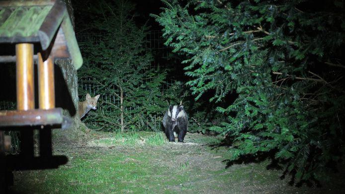 In zijn achtertuin in Heilig Landstichting wist Paul van Bokhoven deze das, met nieuwsgierig toekijkende vos, te fotograferen.