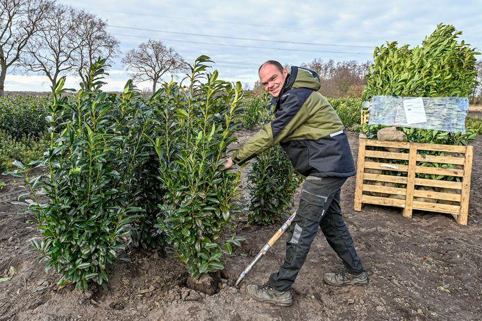 Pieter Hendrickx van Kwekerij 't Pompoentje is bezig met de oogst van laurier.