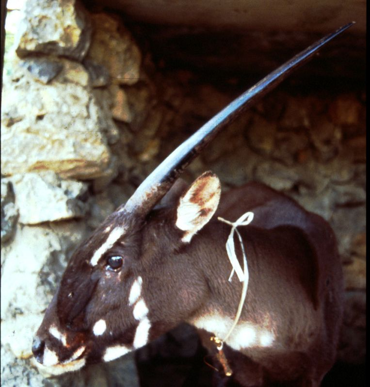Archiefbeelden van de saola uit 1996 in Laos. Beeld null