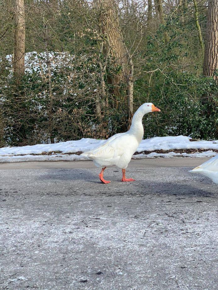Deze bende ganzen blokkeerden een hele tijd de doorgang over de brug in Sint-Jozef Rijkevorsel.