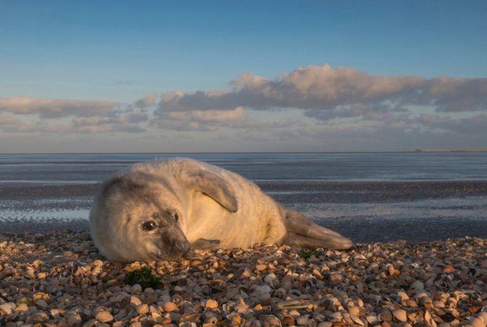 Pup grijze zeehond (archief)