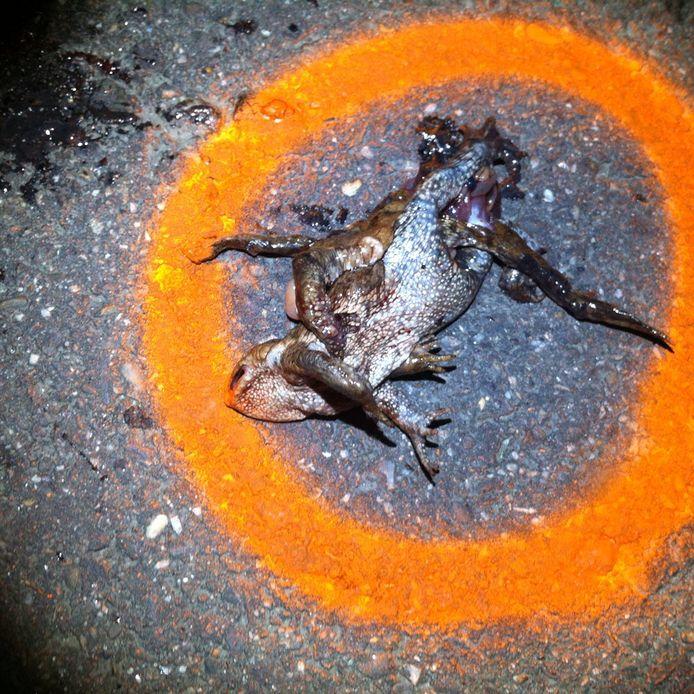 Op de Logtsebaan in Oirschot worden padden massaal doodgereden