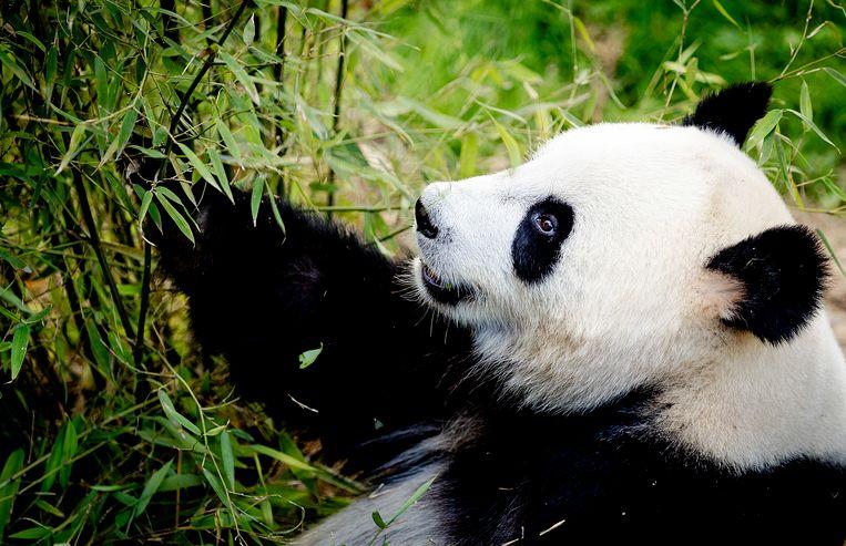 Panda Wu Wen Beeld Anp