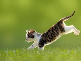 Waarom katten altijd op hun pootjes terechtkomen