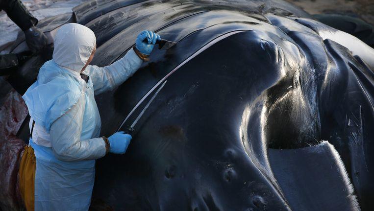 Het kadaver van de bultrug die vorige week strandde bij de Razende Bol tussen Den Helder en Texel, wordt ontleed en onderzocht door het Naturalis Biodiversity Center. Beeld ANP