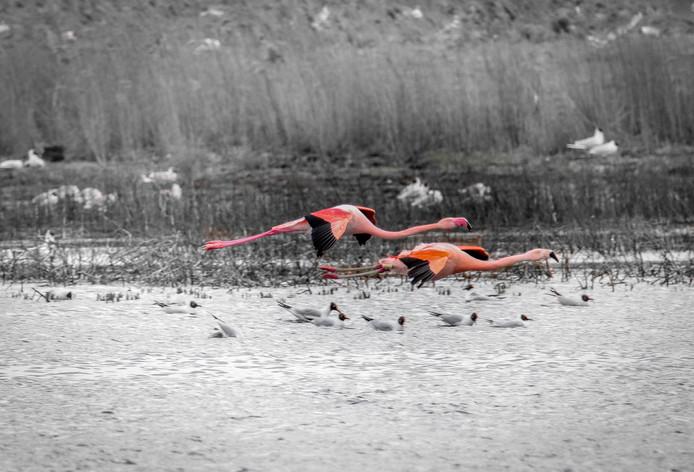 Flamingo's scheren over het water van het Zwillbrocker Venn.