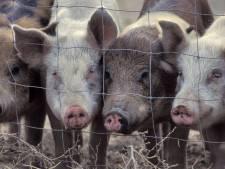 Lieshoutse varkensboer Slits houdt voorlopig zijn vergunningen