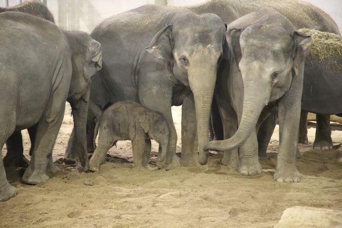De familieleden bekommeren zich om het pasgeboren olifantje.