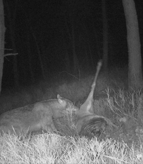 'Unieke beelden' van wolf op de Veluwezoom: 'Toont de rol van de wolven in onze natuur'